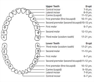 children's dental exam checks for number of teeth